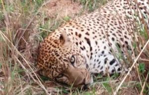 cheetah.jpeg