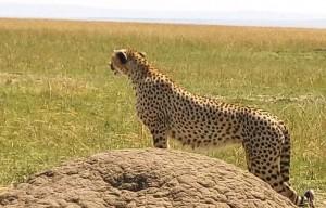 cheetah1.jpeg