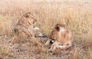 lions.jpeg