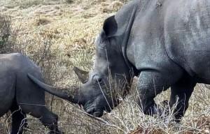 rhinos.jpeg